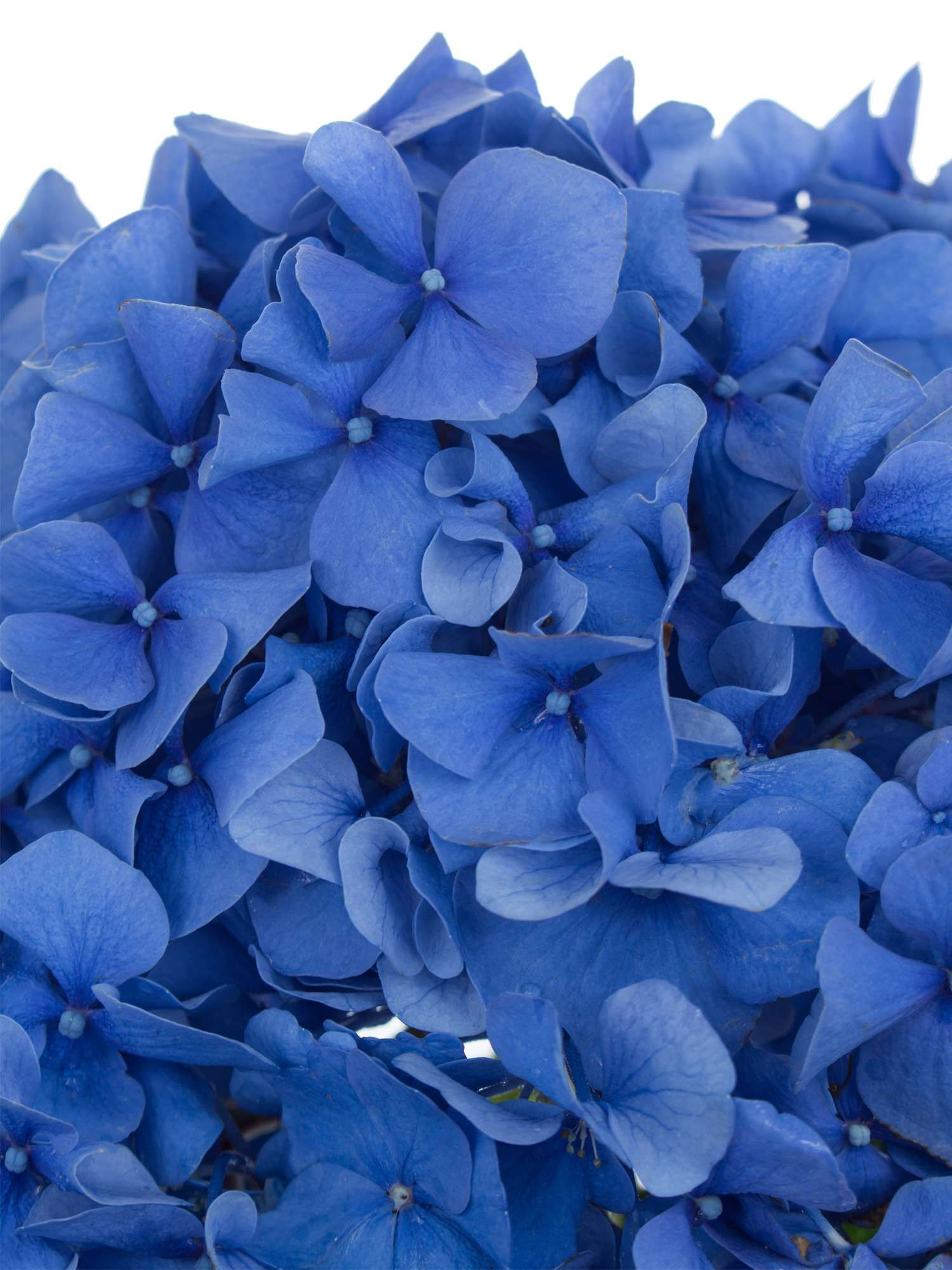 Hortensie Pimpernel Blau Hortensien Pinterest Royal Weddings