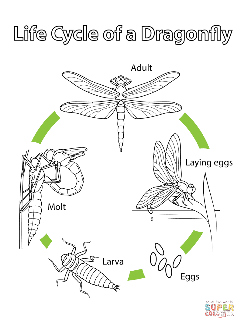 Life Cycle of a Dragonfly Super