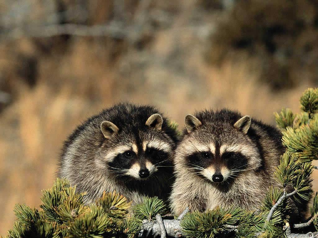 Raccoons So Cute Animals Wild Pet Raccoon Animals