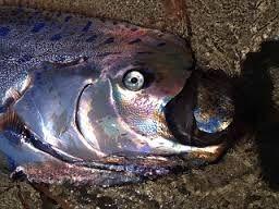 oar fish - Google Search