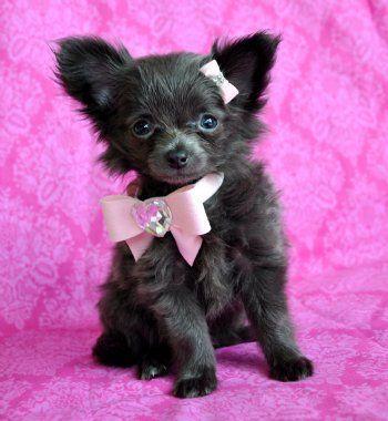 Long Haired Blue Chihuahua Blue Chihuahua Teacup Chihuahua Chihuahua Love