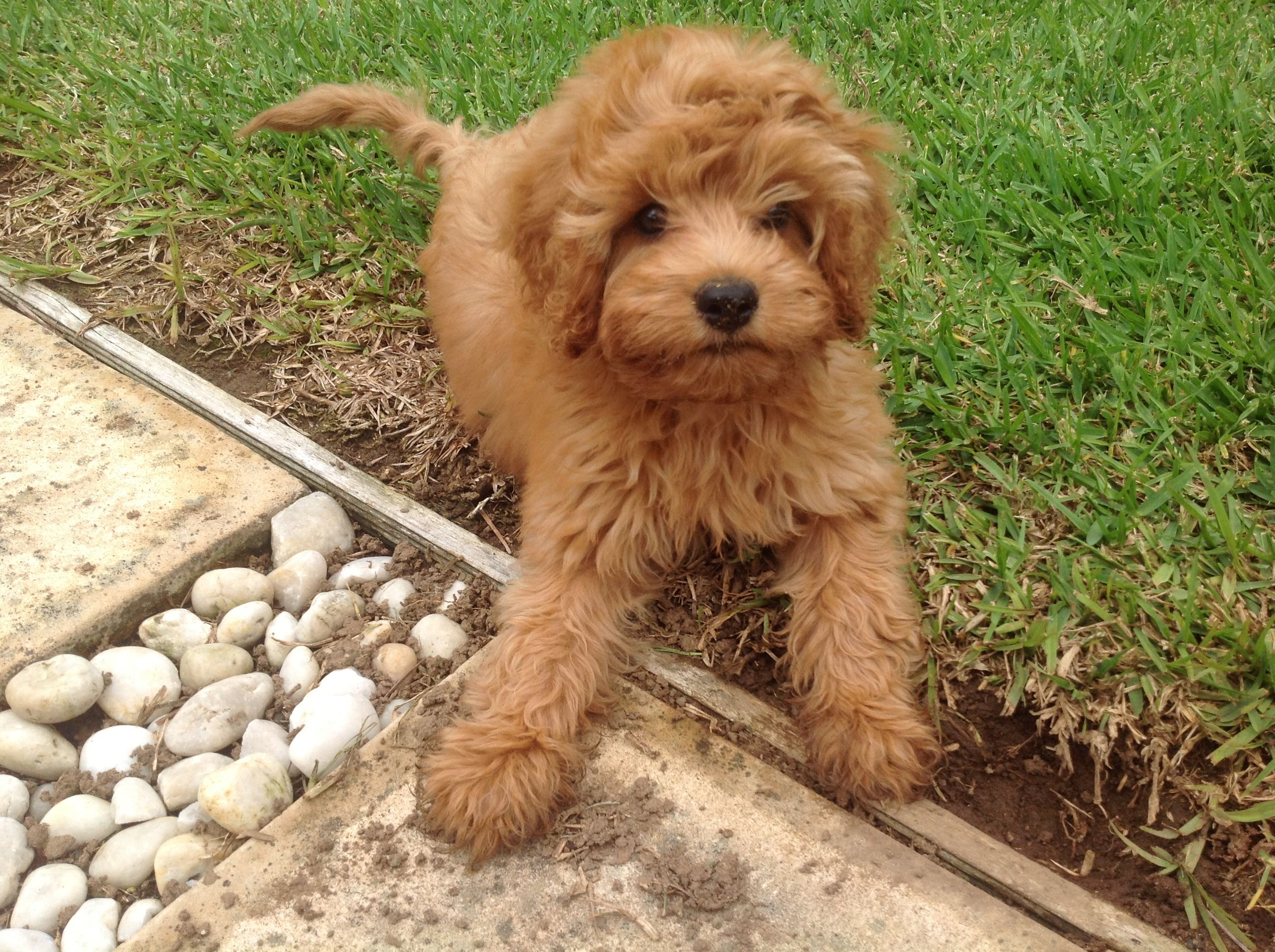 Meggsie the Cavoodle Cavoodle dog, Cute baby animals