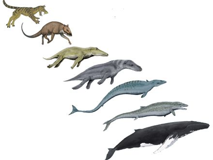 The last shore-dwelling ancestor of modern whales was Sinonyx, top left, a hyena-like animal. Over 60 million years, several transitional forms evolved: from top to bottom, Indohyus, Ambulocetus, Rodhocetus, Basilosaurus, Dorudon, and finally, the modern humpback whale.