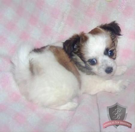 Annabella the Female Chihuahua - Tennessee Chihuahua Breeders