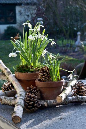 Deko-Tipp: Schneeglöckchen im Tontopf