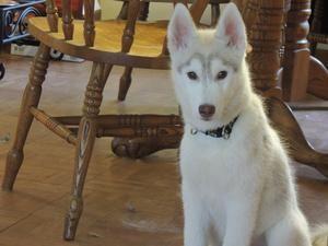 Adopt Cooper On Husky Puppy Siberian Husky Dog Husky