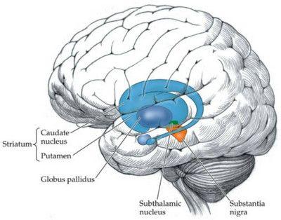 The Basal Ganglia image | Neurology | Pinterest