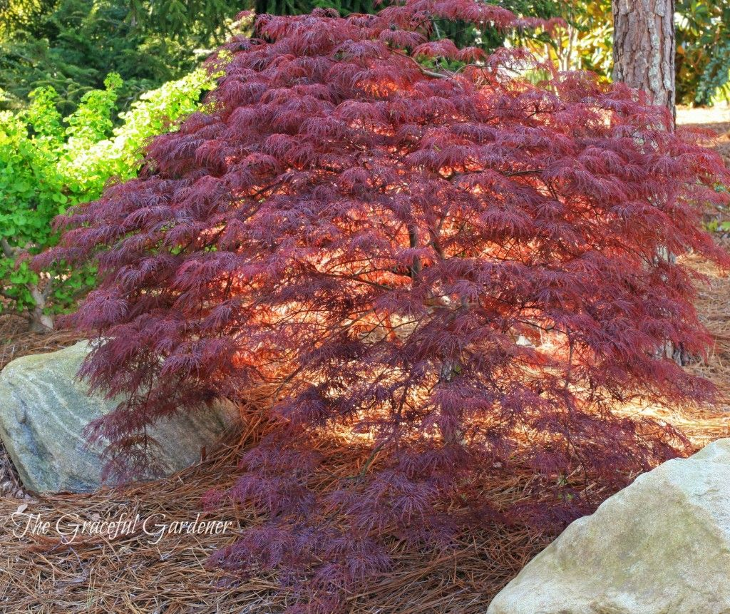 middle-aged-japanese-maple-mature-size