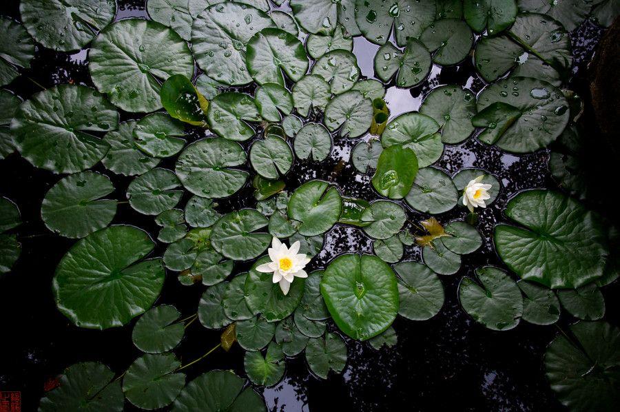Lotus by Samuel Wong on 500px
