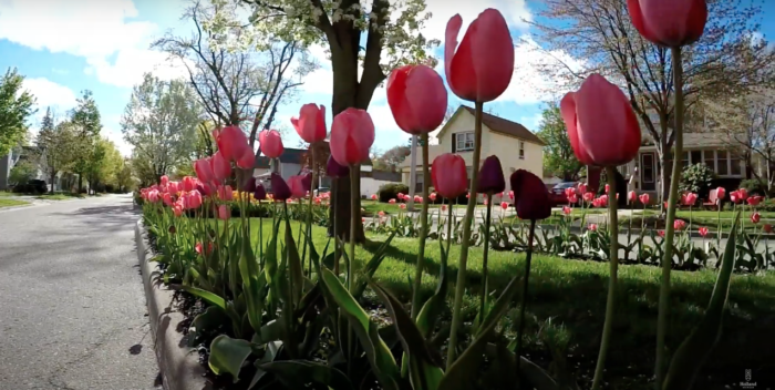Take A Virtual Tour Through A 6 Mile Stretch Of Tulip Lanes In Holland Michigan In 2020 Vacation Trips Michigan Travel Tulips
