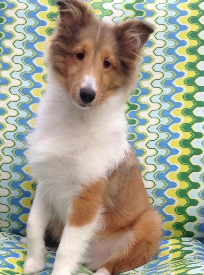 Young Sable Sheltie... that awkward-looking 'teenage' phase! such a serious look, though.