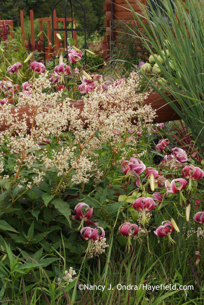 Black Beauty Orienpet Lily Lilium With Giant Fleeceflower