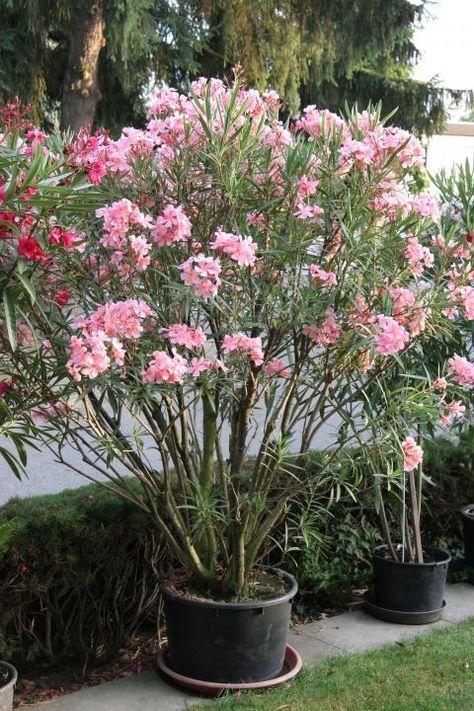 oleander erfolgreich berwintern pflanzen g rten und berwintern. Black Bedroom Furniture Sets. Home Design Ideas