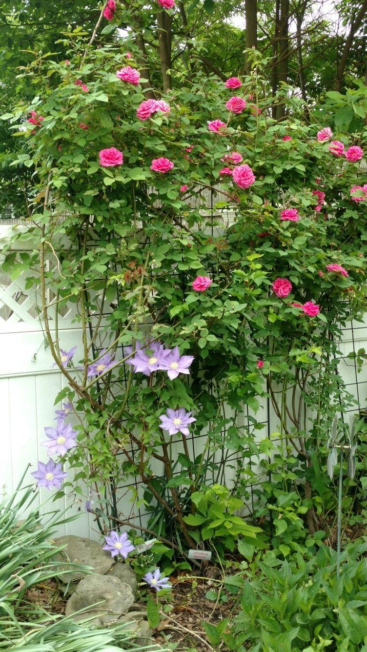 Hf Young Clematis And Zepherine Drouhin Rose Garten