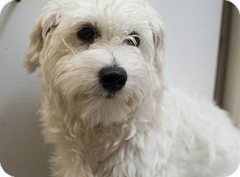 Torrington Ct Havanese Mix Meet Parker A Dog For Adoption Http Www Adoptapet Com Pet 10862688 Torrington Connecticut Havanes Dog Adoption Havanese Pets