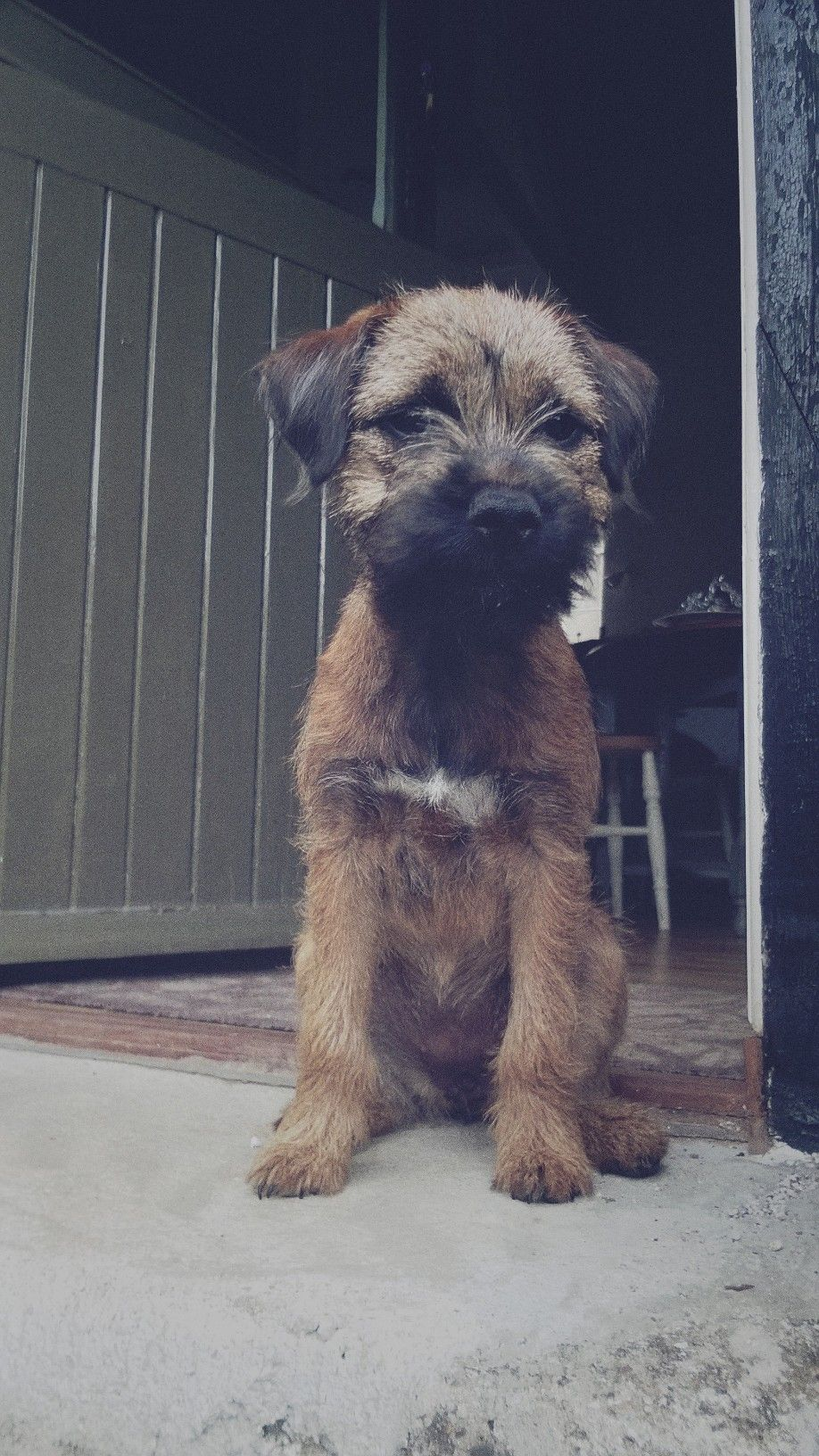 Maggie Border Terrier Pawshake Border Terrier Puppy Patterdale Terrier Dogs
