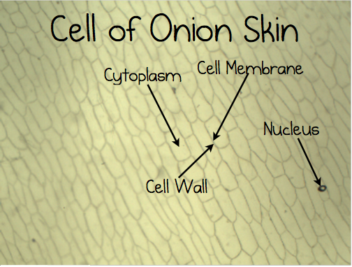 Onion Cell Lab Middle School