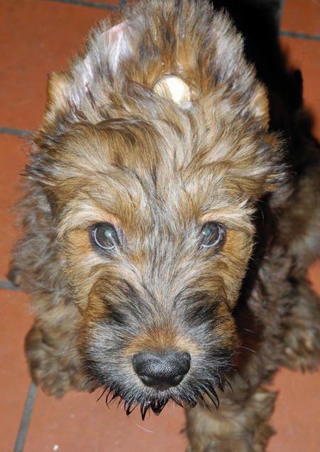 Fergie The Briard Riesenschnauzer Russischer Terrier Schnauzer
