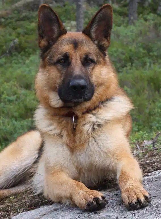 Pin By Brian L On German Shepard Shepherd Dog German Shepherd