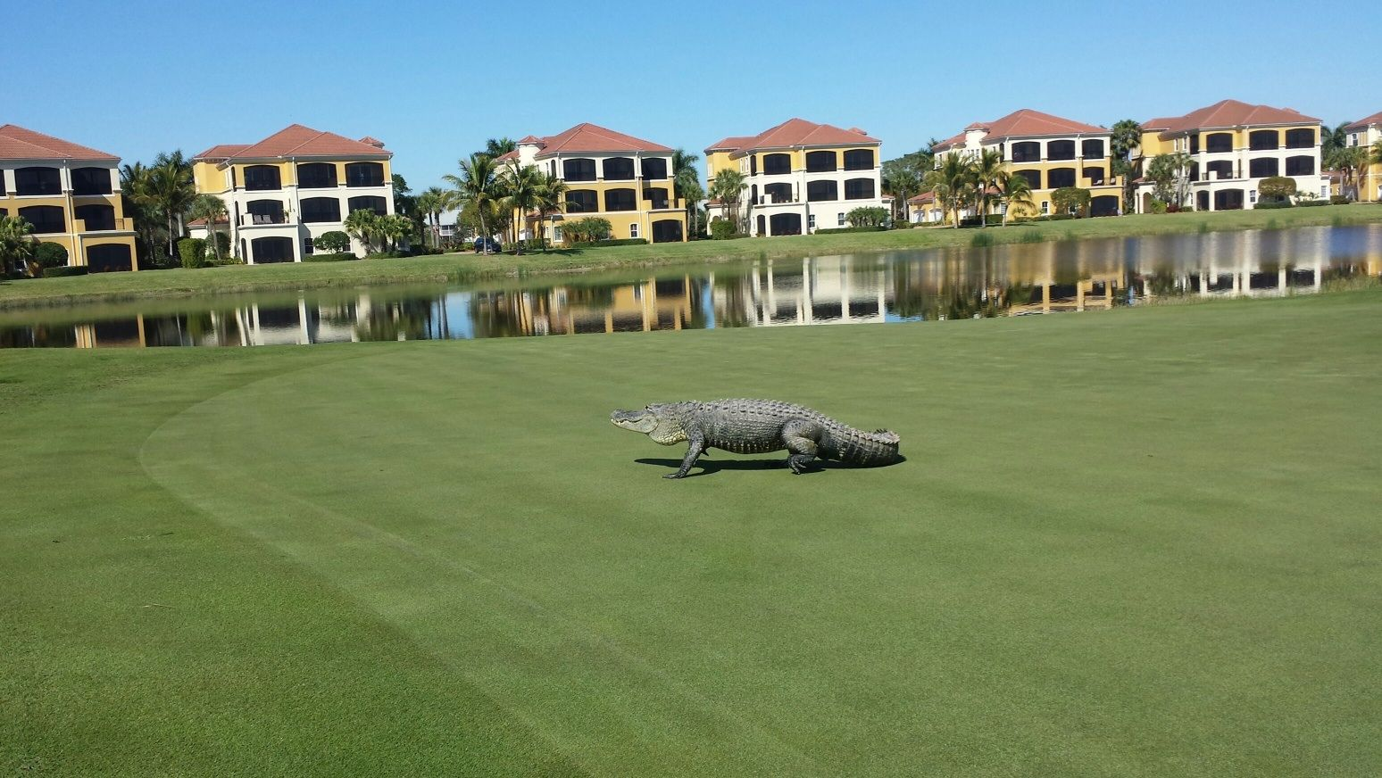 This Guy Really Knows How To Read The Greens At Hammock Bay Golf Club At Marco Island Marriott Beach Resort G Beach Resorts Florida Golf Marco Island Marriott