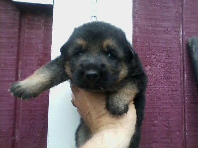 German Shepherd Puppy 2 Weeks Rex Puppies Shepherd Puppies