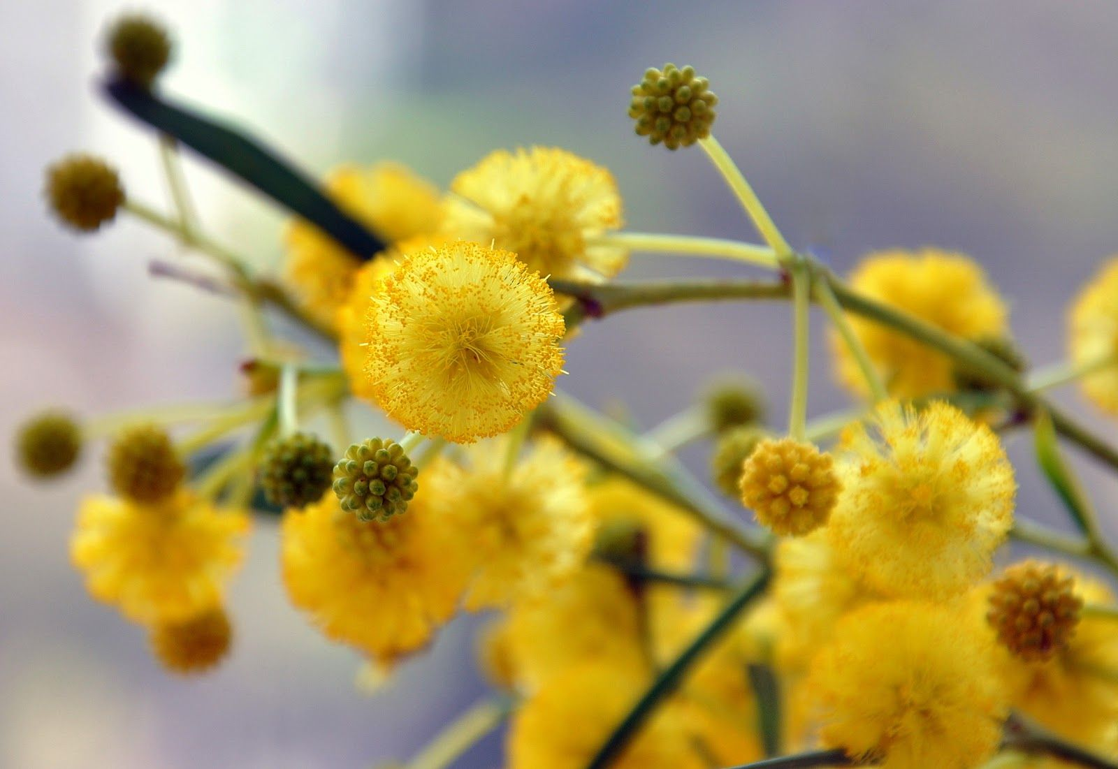 mimosa - Google Search