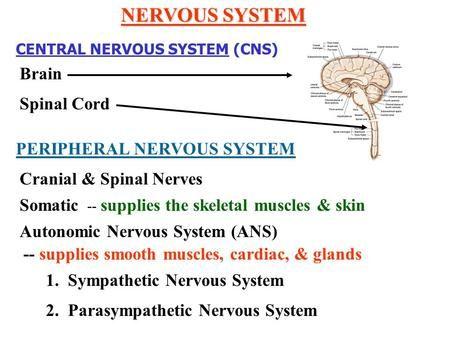 NERVOUS SYSTEM CENTRAL NERVOUS SYSTEM CNS Brain Spinal Cord