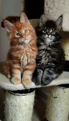 Adorable Orange Tabb Adorable Orange Tabby And Brown Tabby Long