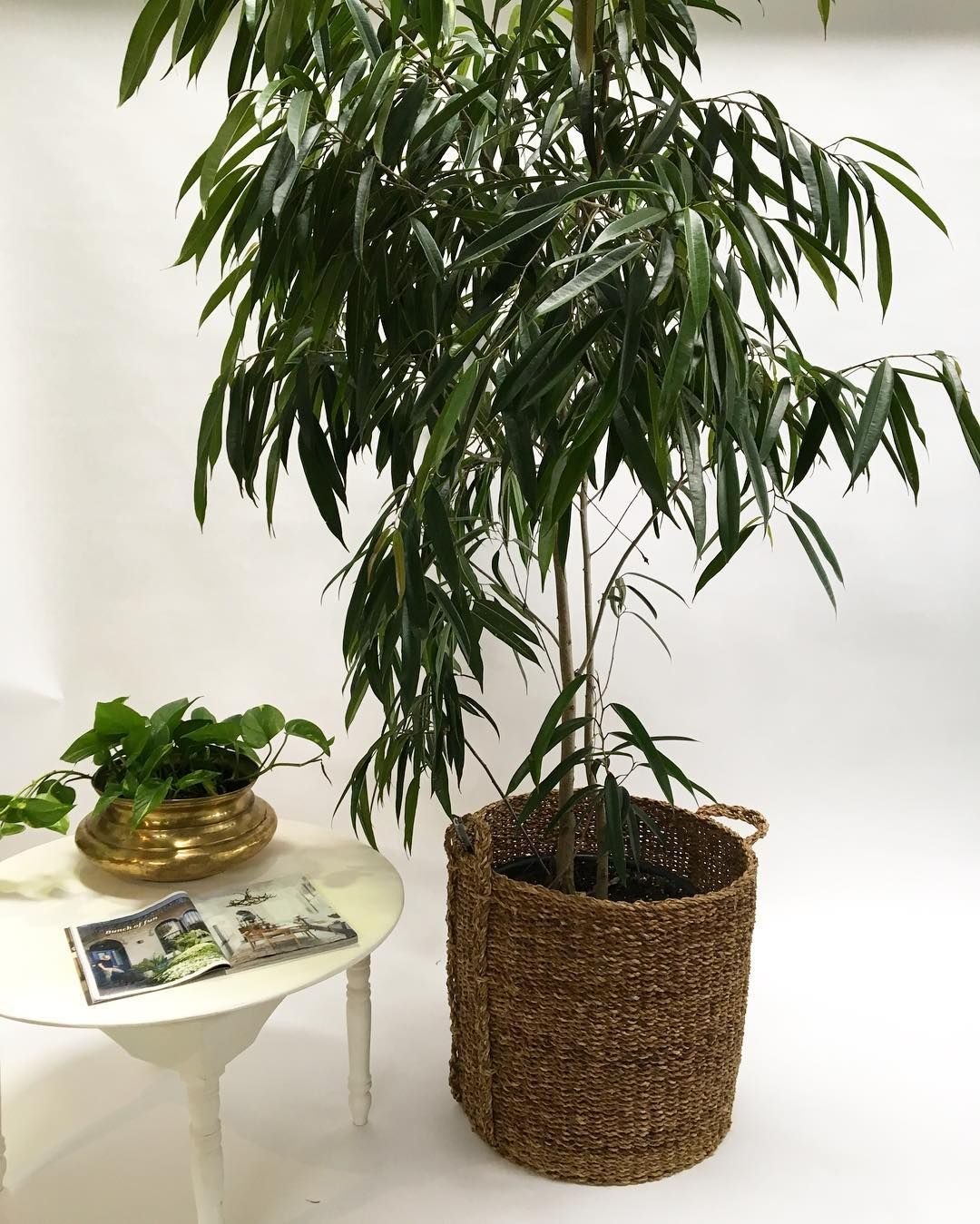 The perfect indoor tree and I think the next IT plant - Ficus ...