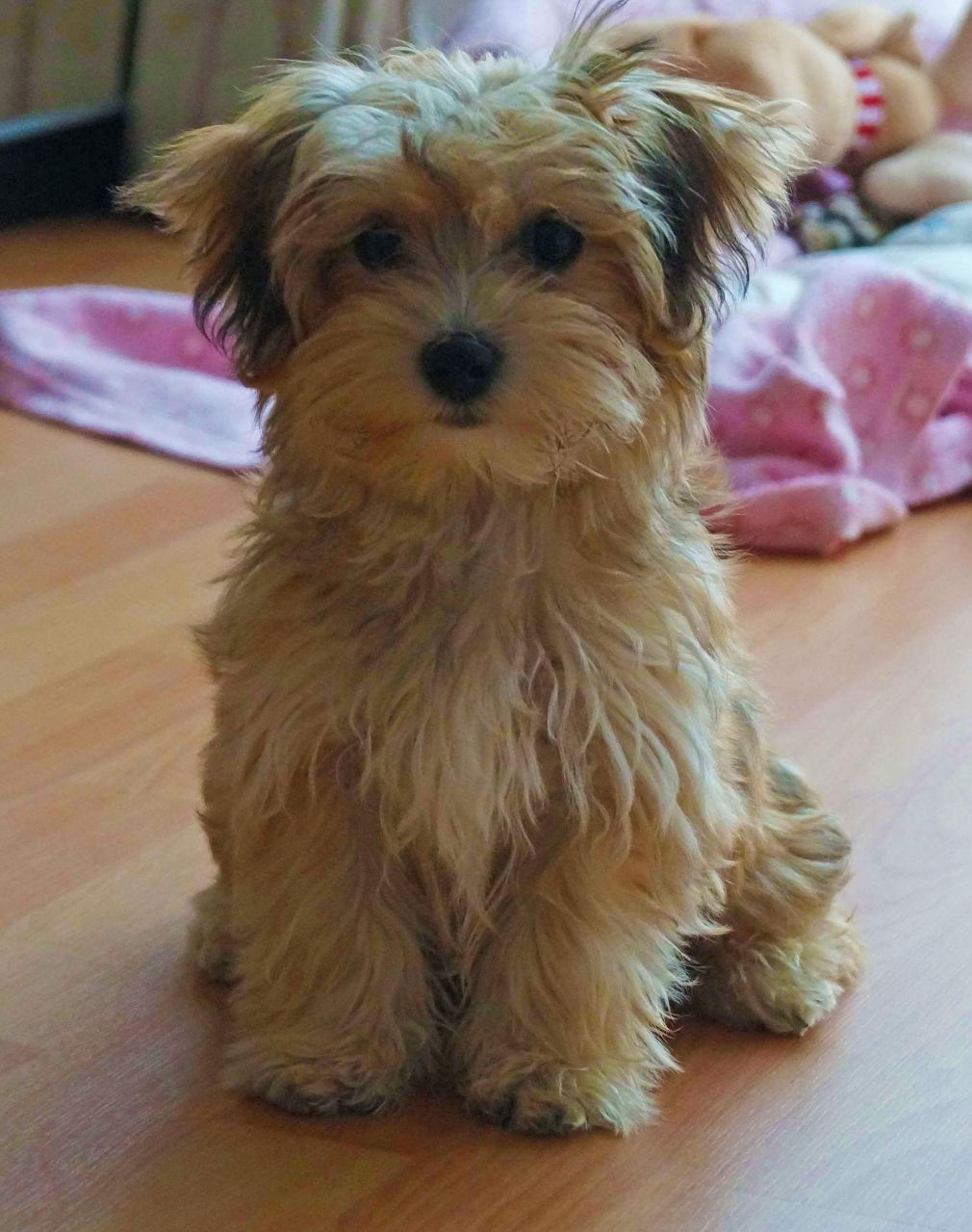 havanese puppy for sale uk Google Search