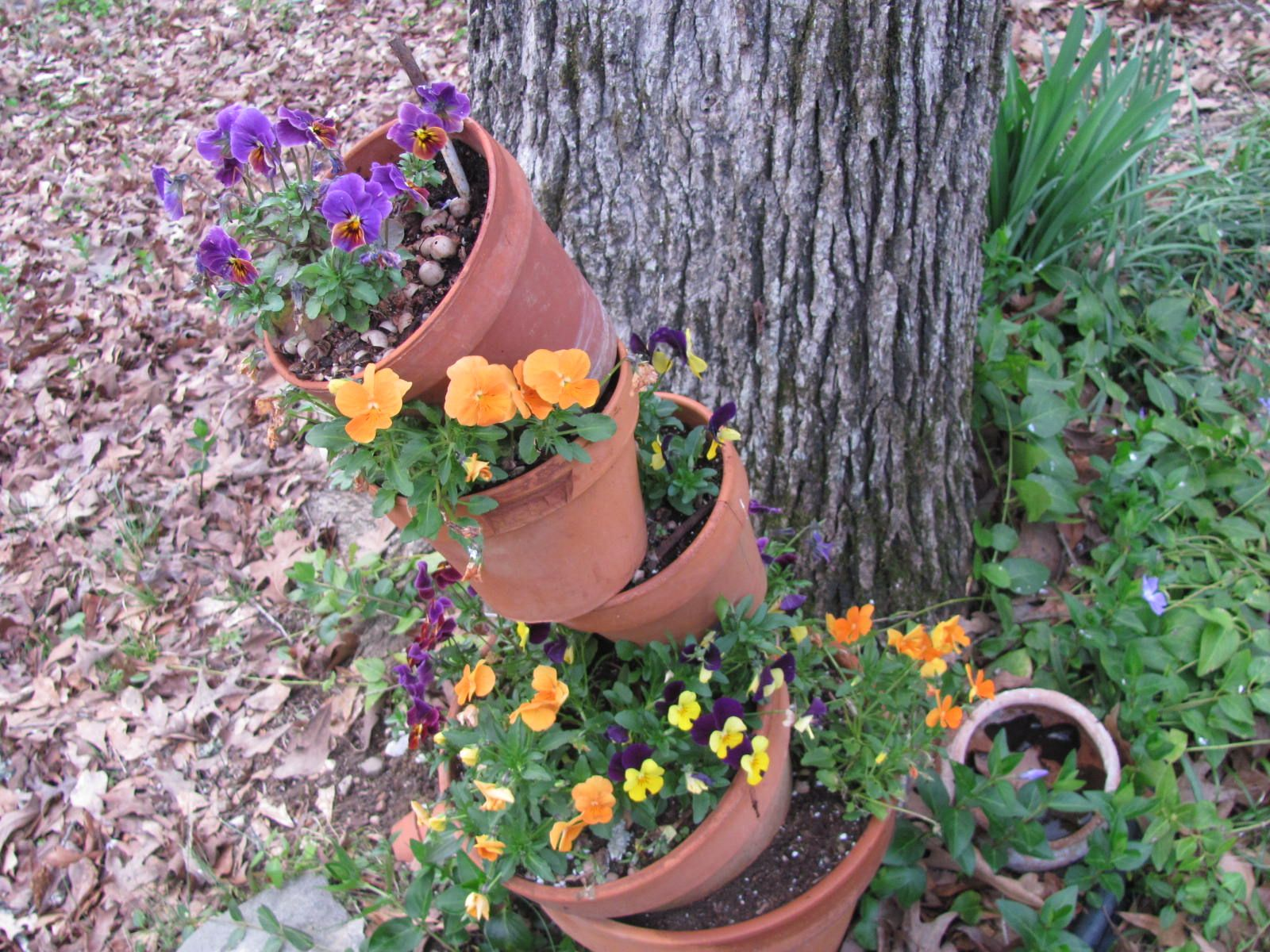 my pansy's did good this winter 2012