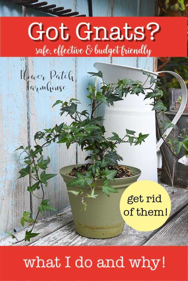 How to Get Rid of Fungus Gnats safely   Easy house plants ...