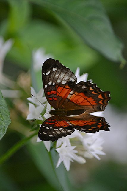 Transparent red and chocolate Anartia amathea on white Pentas by jungle mama on Flickr.