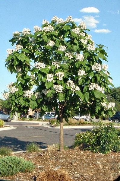 Northern Catalpa Tree Slow To Sprout Leaves But Beautiful I Love Mine