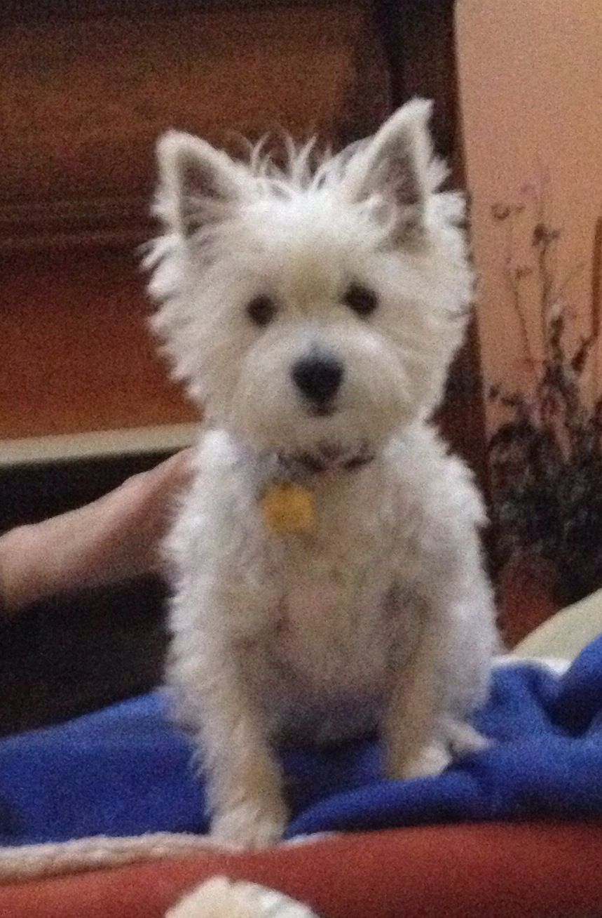 Pin by Carol Sanger on Westie Rescue Indiana Westies