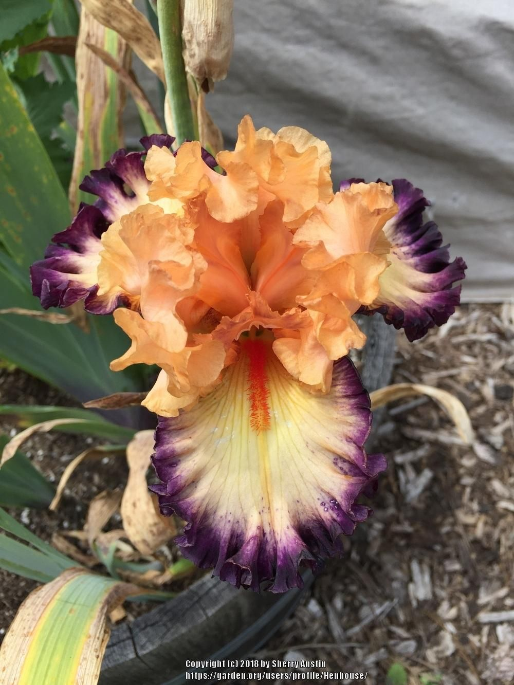 Irises Plant Care And Collection Of Varieties Garden Org Iris Flowers Iris Garden Rose Plant Care