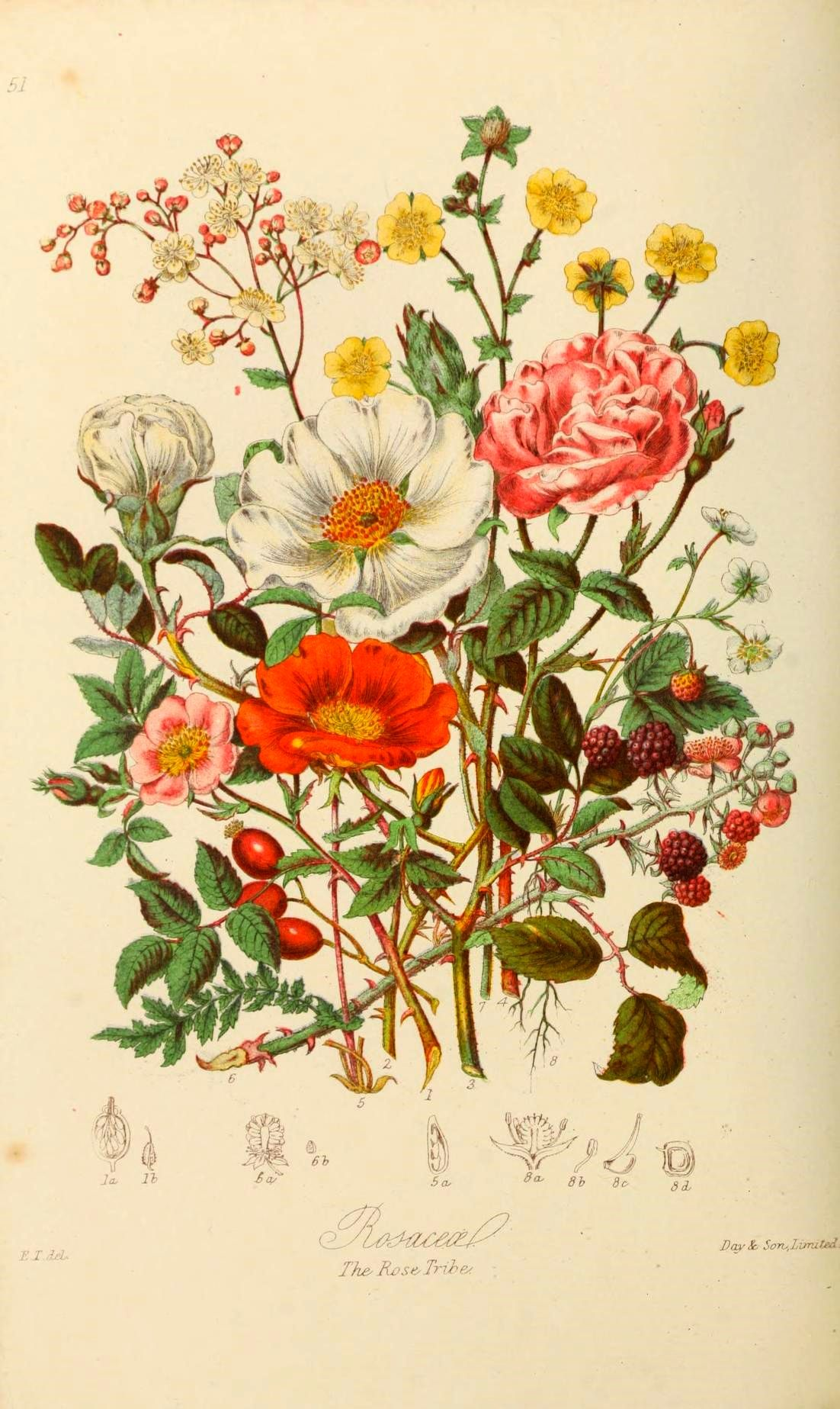 Scientificillustration Botanical Illustration Vintage Botanical Drawings Vintage Botanical Prints