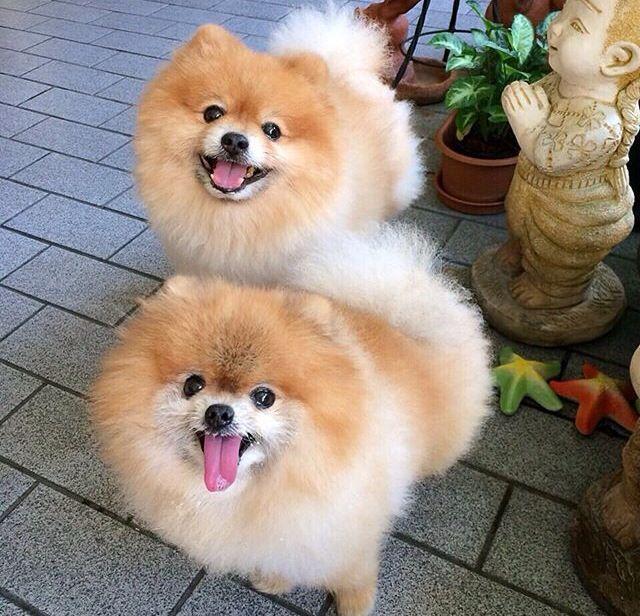 Pin By Flora Mt On Dog World Cutest Dog Cute Dogs Pomeranian