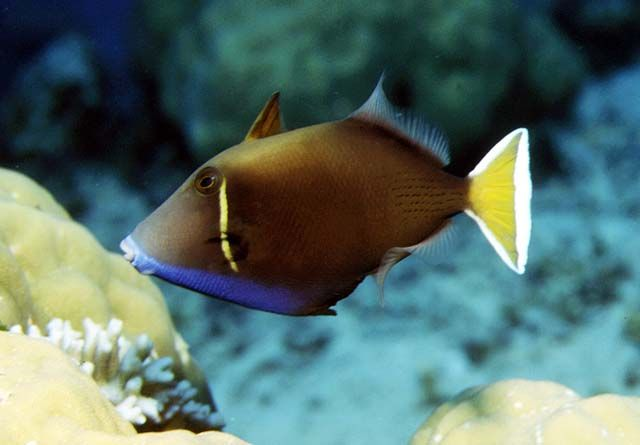 Halfmoon Triggerfish Goldenfinned Triggerfish Goldenlined Triggerfish Yellowstreak Triggerfish Yellow Backed Triggerfi Ocean Creatures Salt Water Fish Fish