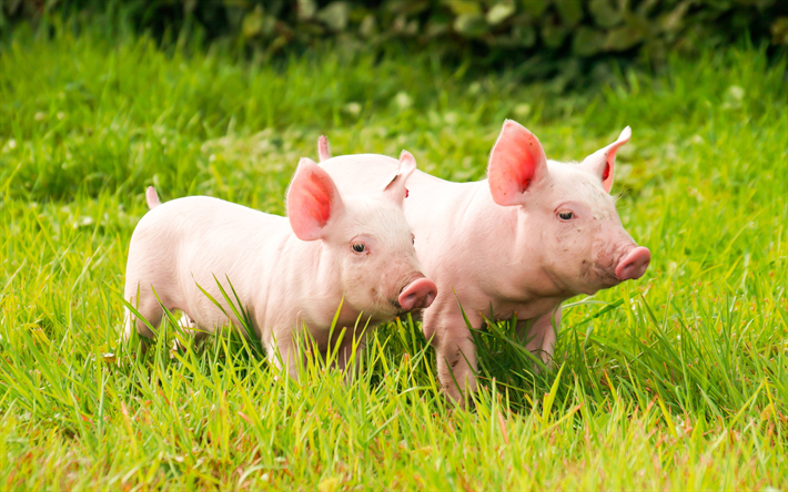Download wallpapers piglets, 4k, small pigs, green grass
