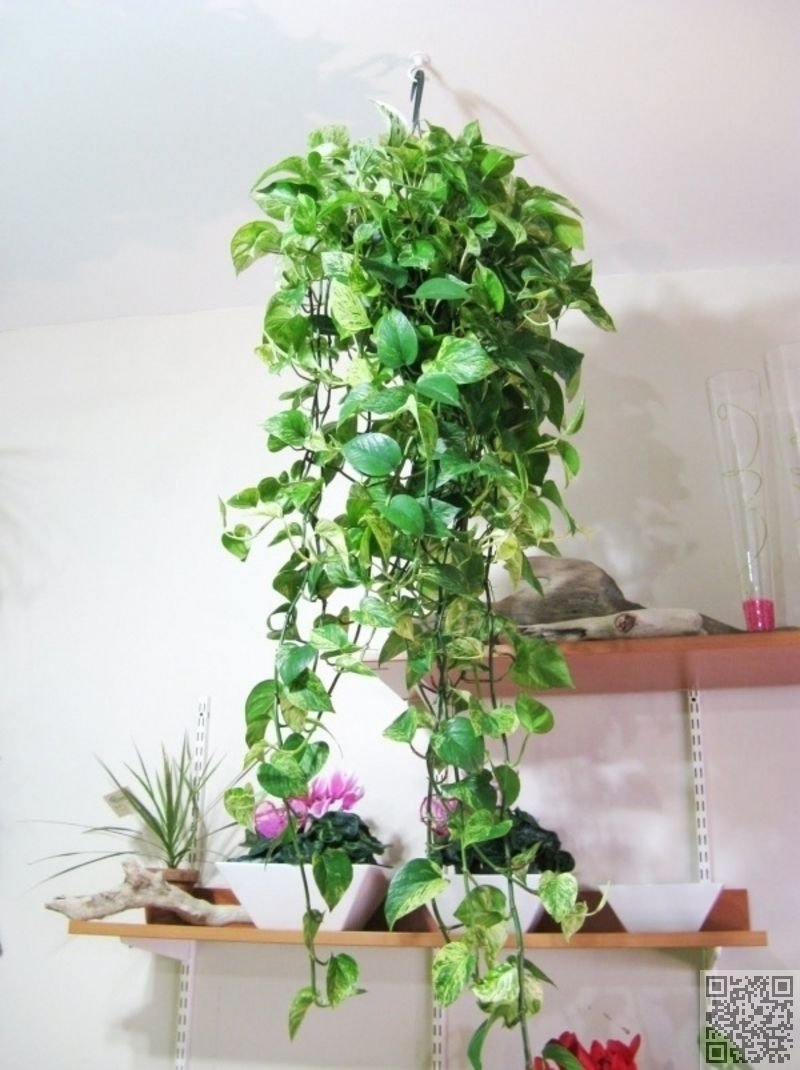 24 trailing leaves 27 awesome indoor houseplants to for Indoor greenery ideas