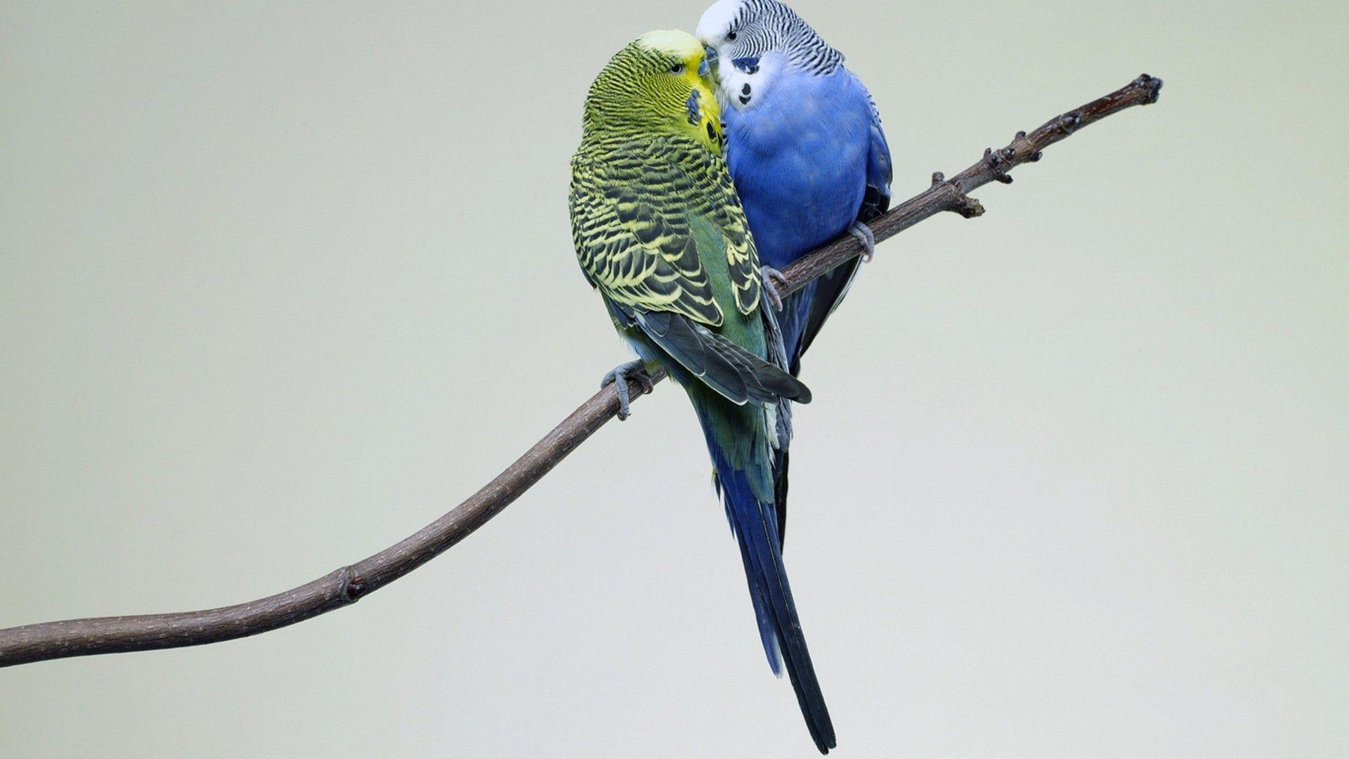 love birds hd images 9 lovebirdshdimages lovebirds birds
