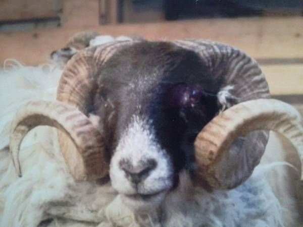 FOR SALE Scottish Blackface Ram Born and registered May 2012 Proven soundness for past 2 seasons Calm demeanor Located in Southeastern Wi