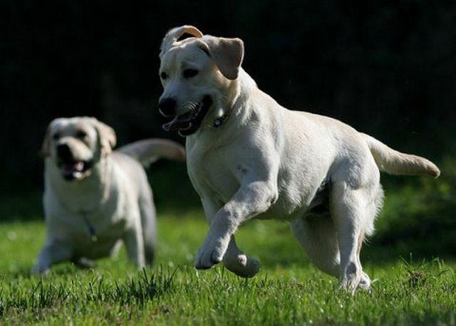 Yellow Labrador Retrievers | Family and More http://family-and-more.com #labrador #lab #golden #dog #family