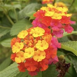 Lantana Tangerine Plants Flowers And Trees Identification