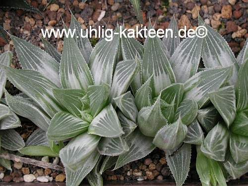 Uhlig-Kakteen-Shop Haworthia retusa 'Grey Ghost'