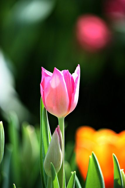 ♥ Tulips Join with us at International Research Community and Travel Guides = https://www.facebook.com/groups/1547062925573513/