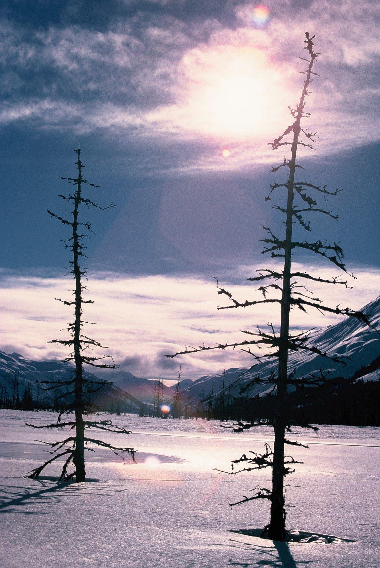 "Froststarre Tannen aus ""Alaska-Fieber"""