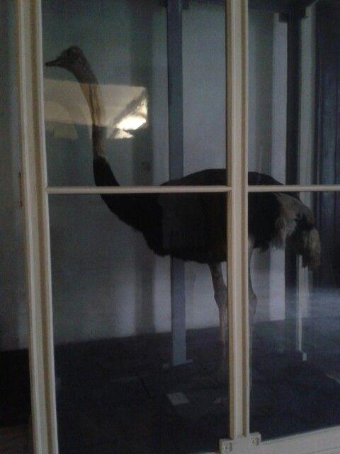 Avestruz del museo zoológico