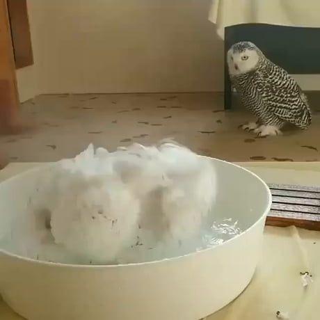 Owl bath!